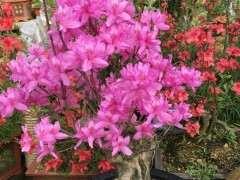 映山红下山桩的花苞怎么多开花