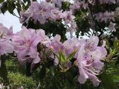 白色花映山红下山桩和紫色花映山红价格高吗