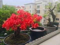 盆栽映山红下山桩在夏天怎么养护