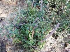 地栽2年的映山红下山桩 叶子有黑斑