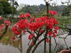 贵州和大别山 湖南的映山红下山桩有什么区别