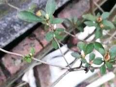 映山红下山桩长叶子的枝条怎么修剪