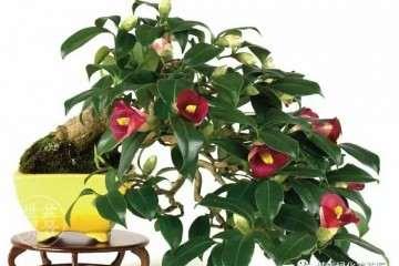 山茶花盆景怎么上盆的4个技巧