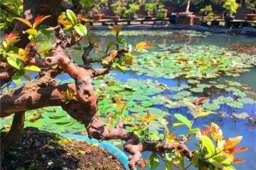 盆景的干枝叶怎么修剪的方法 图片