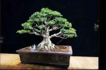 黄杨树盆景可以放置室内吗 怎么浇水