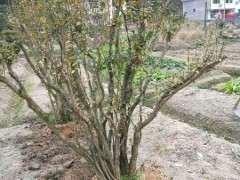 映山红下山桩现在是这夏季移栽能成活吗