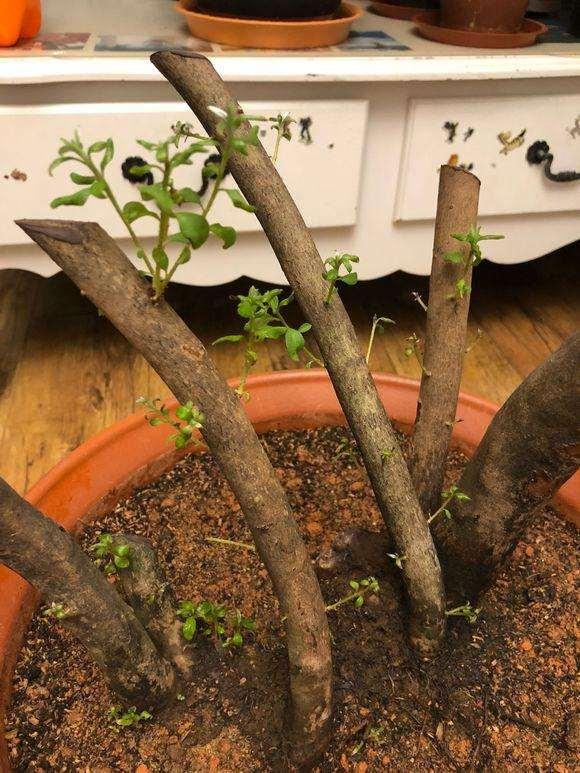 映山红下山桩发芽后怎么养护