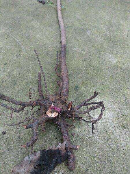 去年地栽的映山红下山桩全部都死了