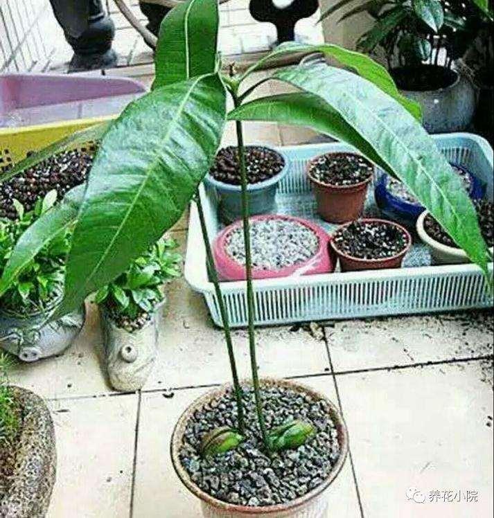 芒果盆景怎么催芽播种的方法