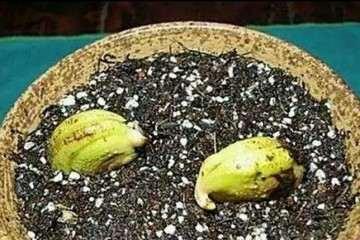 图解 芒果盆景怎么催芽播种的方法