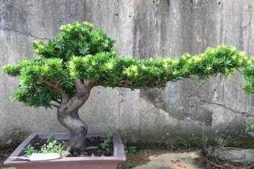 盆栽罗汉松怎么配土栽种最好