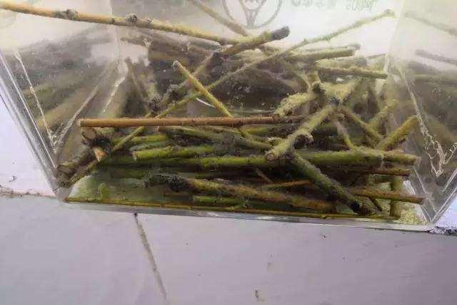 怎么使用生根粉这种盆景的方法