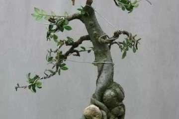 如何修剪使盆景枝条尽快长粗的方法