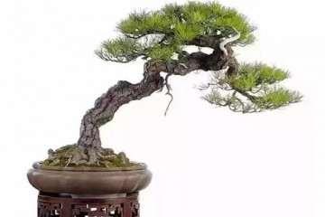 怎样的松树盆景才能算得上是古朴苍劲呢