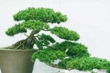 罗汉松盆景枝条怎么修剪的方法