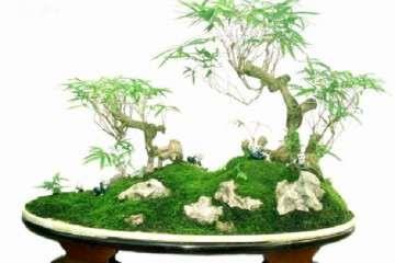 佛肚竹盆景怎么施肥修剪的方法