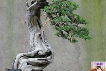 刺柏盆景怎么上盆养护的方法 图片