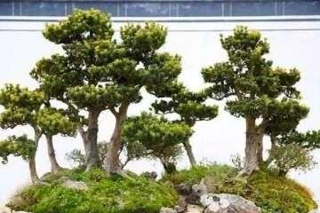 罗汉松盆景用什么土壤种最好
