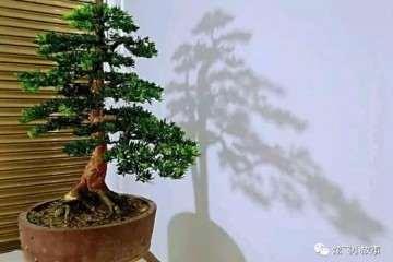 图解 罗汉松盆景怎么修剪造型的过程