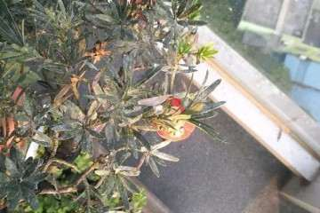 罗汉松盆景的叶片枯萎怎么办 图谱