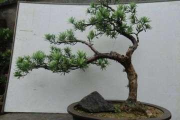 罗汉松盆景枝条怎么扦插的3个方法