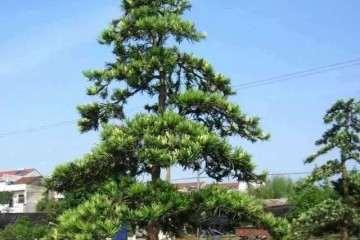春季发芽之前怎么移栽罗汉松盆景的方法