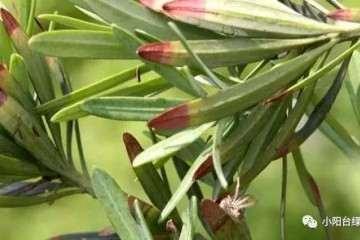 罗汉松盆栽怎么防治叶枯病的方法