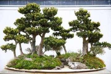 罗汉松盆景用什么土壤扦插最好