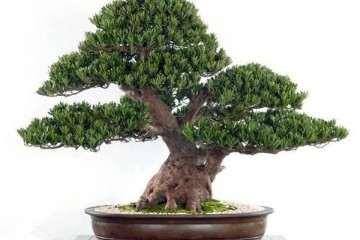 罗汉松盆景怎么栽培与养护的6个方法