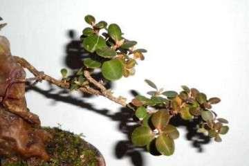 珍珠黄杨盆景出现脱叶烂根怎么处理 图片