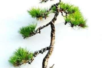 制作山松盆景该如何采桩的方法