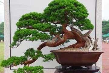 养护松树盆景最好还是用酸性土壤