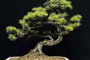 树木盆景怎么用金属丝造型的方法