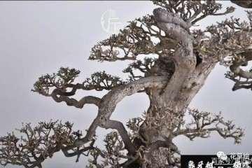 怎么制作朴树小品盆景的方法
