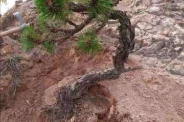山松盆景怎么选择树桩的方法