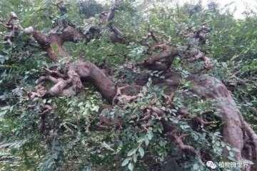 榆树盆景怎么修剪浇水的方法