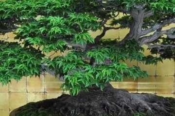 树桩盆景的主干根系怎么造型的方法