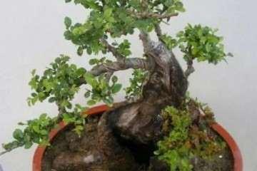榆树盆景栽种后怎么上盆造型的方法