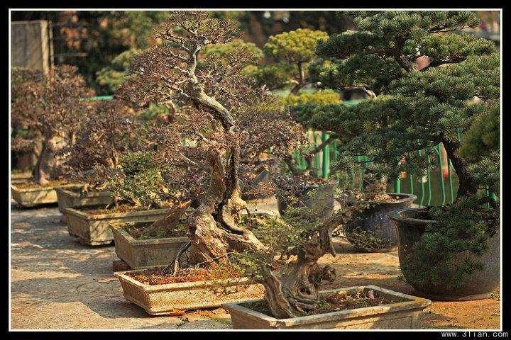 树桩盆景施肥不当