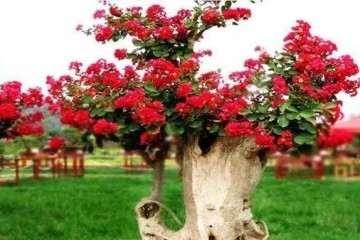紫薇树盆景怎么嫁接养护的方法
