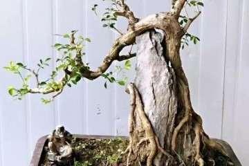 附石盆景怎么栽植上盆的方法