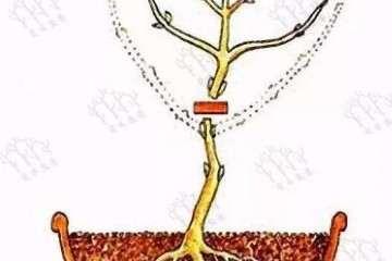 图解 小树苗盆景怎么修剪枝条的方法