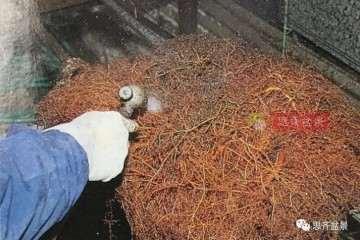 图解 红枫盆景洗根后怎么换盆的方法