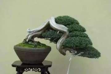 垂头就是说盆景植物中的枝头有向下垂的趋势