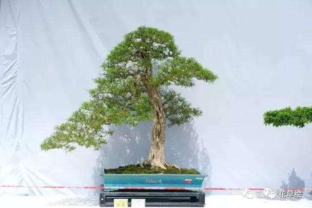 树桩盆景在冬季怎么防寒的技巧
