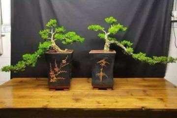 黄杨盆景养护