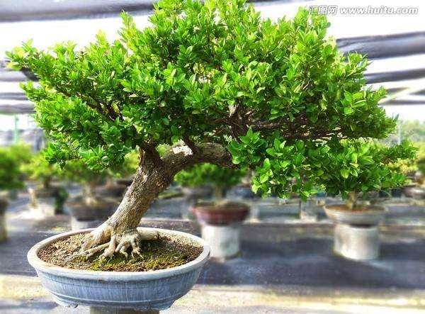 黄杨盆景的发芽栽培的一些方法