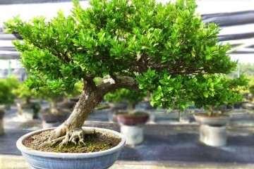 夏季黄杨盆景怎么生根发芽栽培的方法 图片