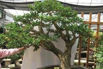 黄杨盆景施肥