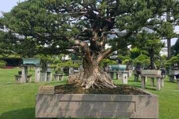 珍珠黄杨盆景的果子挂满枝头 会影响生长吗